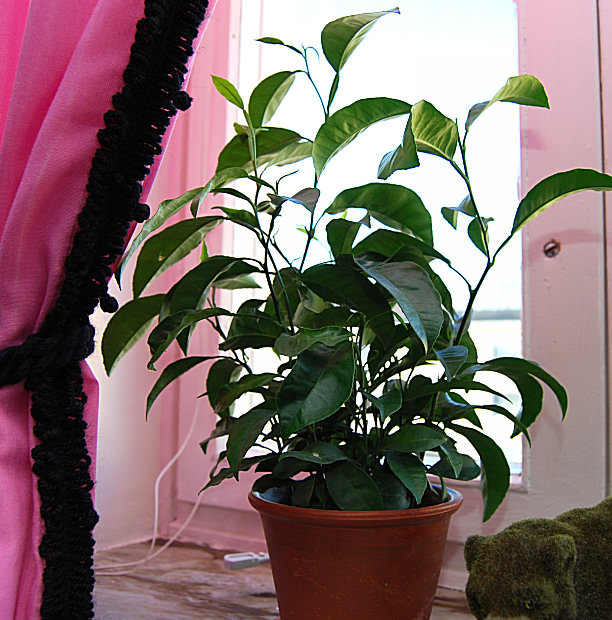 orange seed plant plant from store bought oranges