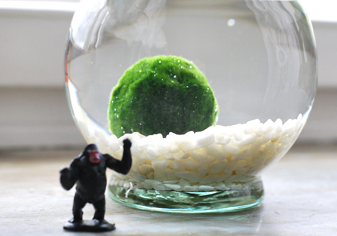 marimo ball in glass bowl