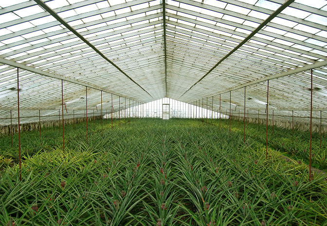 pineapple plantation azores
